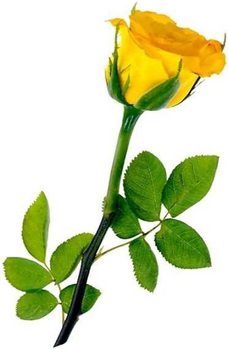 raves sweet one yellow rose