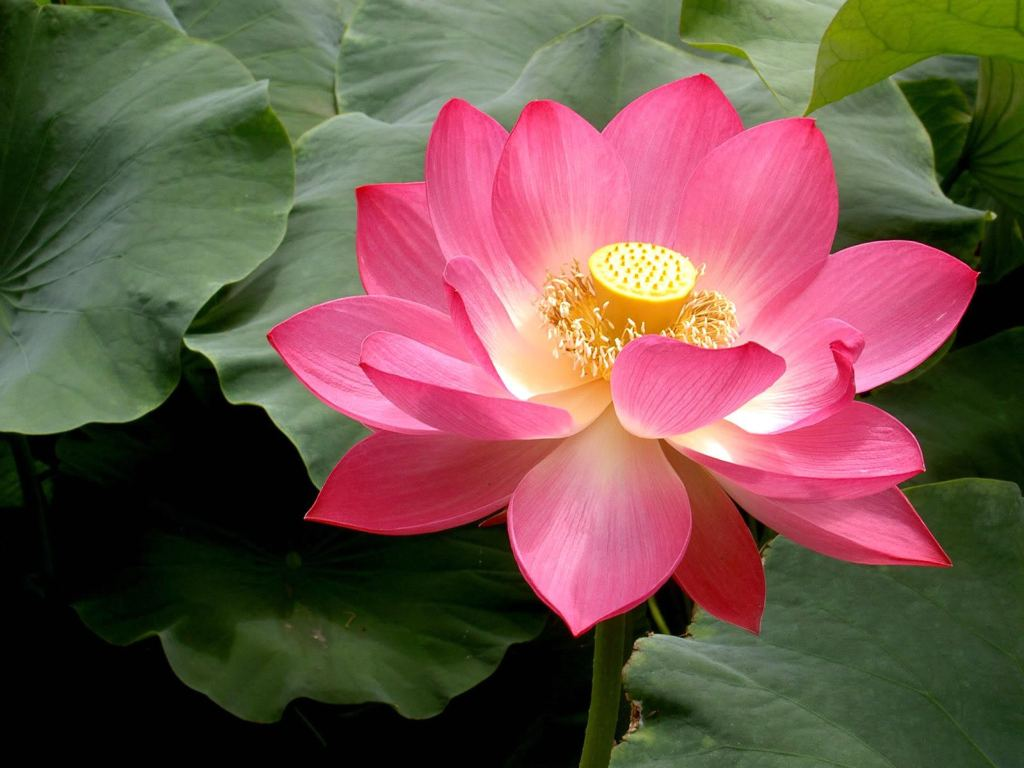 If you want pictures of pink lotus flowers you can browse our