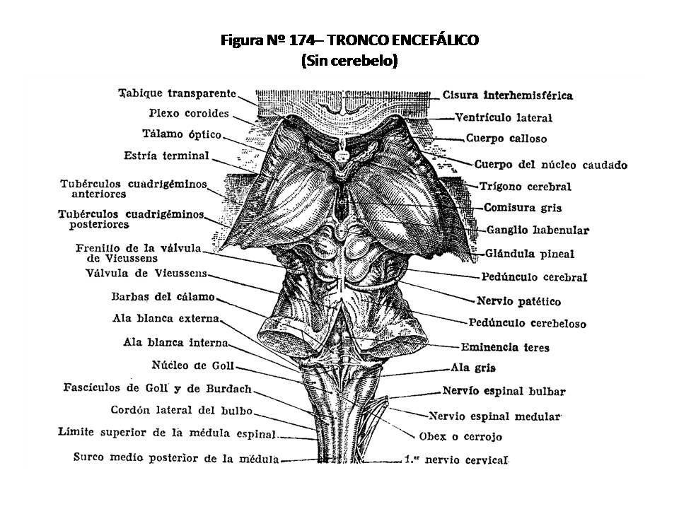 ATLAS DE ANATOMÍA HUMANA: 174. TRONCO ENCEFÁLICO (SIN CEREBELO).
