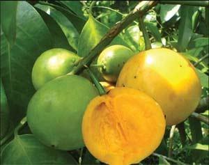 buah garcinia plant
