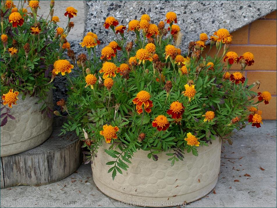 Tagetes patula 'Orange Flame' - Aksamitka rozpierzchła