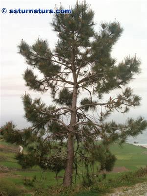 El mundo de od lures test de maderas madera de pino pa s - Maderas el pino ...