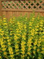 Yellow loosestrife (Lysimachia)