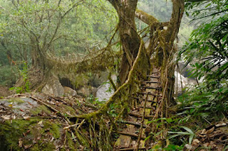 Root Bridge, The Lord Of the Ring, Pohon Terunik dan Teraneh di Dunia, metode sas