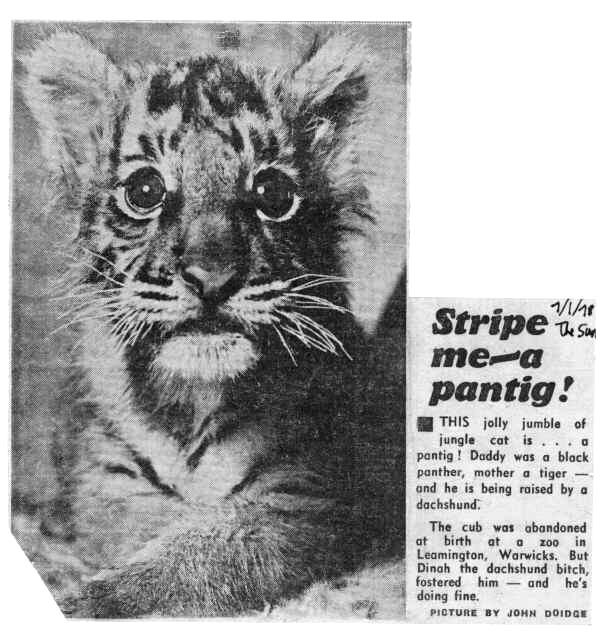 "Les félins panthera dits ""hybrides"" - Page 3 Pantig%2Bnewspaper%2Barticle"