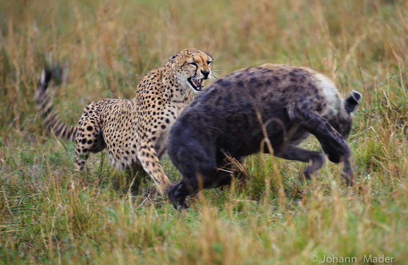 Animal Zoo Life: cheetah,cheetahs,king cheetah,cheetah facts,baby ...