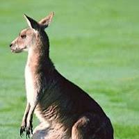 marsupial canguro