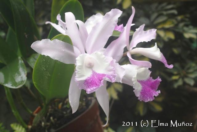 Cattleya hibrida