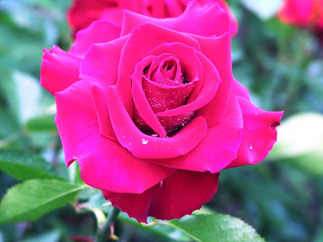 pink rose gulabi gulab