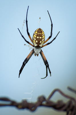 Orb Weaver Spider, Goforth Road
