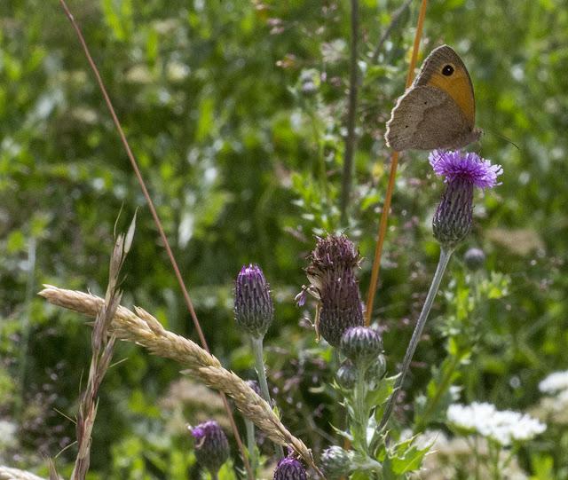 Meadow Brown, Maniola jurtina.  Jubilee Country Park butterfly walk, 15 July 2012.