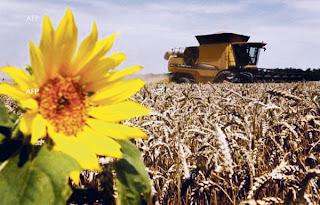 Saintis hasil gandum tahan air masin