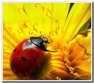 mariquita flor