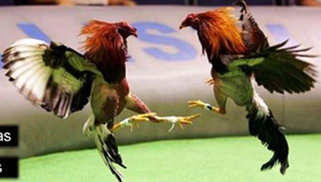 Combat de coq philippin