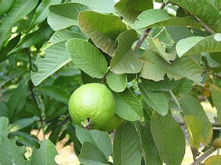 Tips Guava leaves