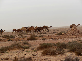 Kameelachtigen. Op weg van Marrakesh naar Layoune richting Mauritanië hoeden nomaden grote grote kuddes dromedarissen.