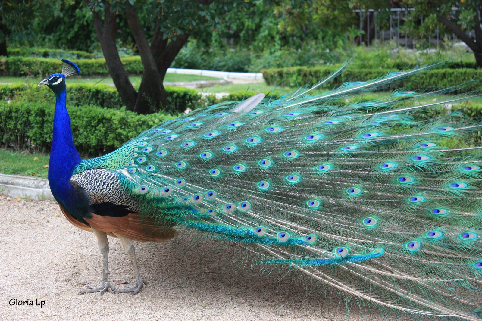 Otra mirada pavos reales en el palacio real - Fotos de un pavo real ...