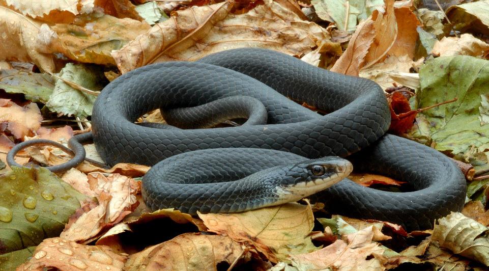 Фото змеи черной мамбы