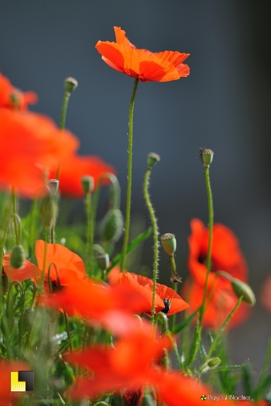 Profil de coquelicot photo Pascal Blachier