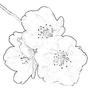Sakura Sketch