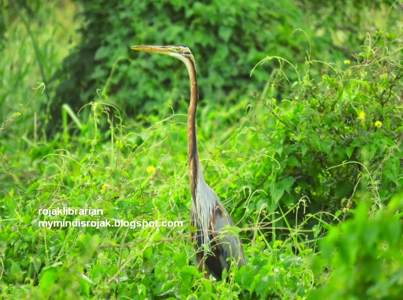 Purple Heron in Tampines Eco Green