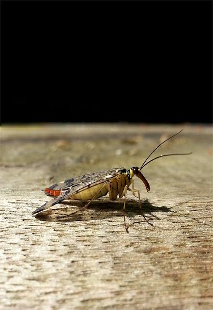 Neznana žuželka s kljunom v temi