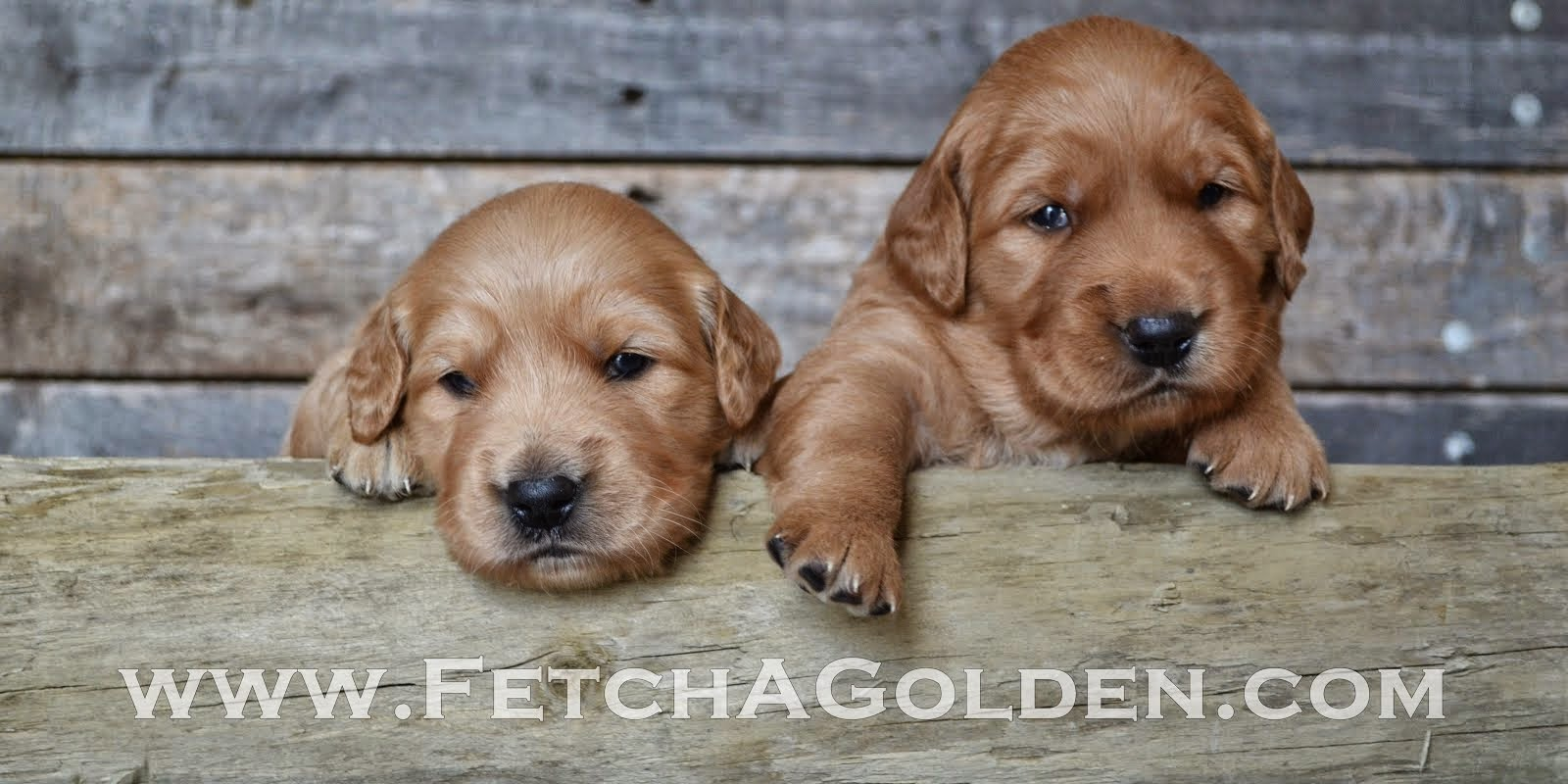 Fetch A Golden