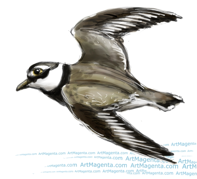 Ringed Plover sketch painting. Bird art drawing by illustrator Artmagenta