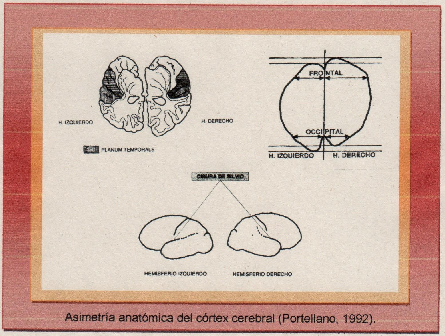 Psicobiología del género Homo: Asimetrías cerebrales