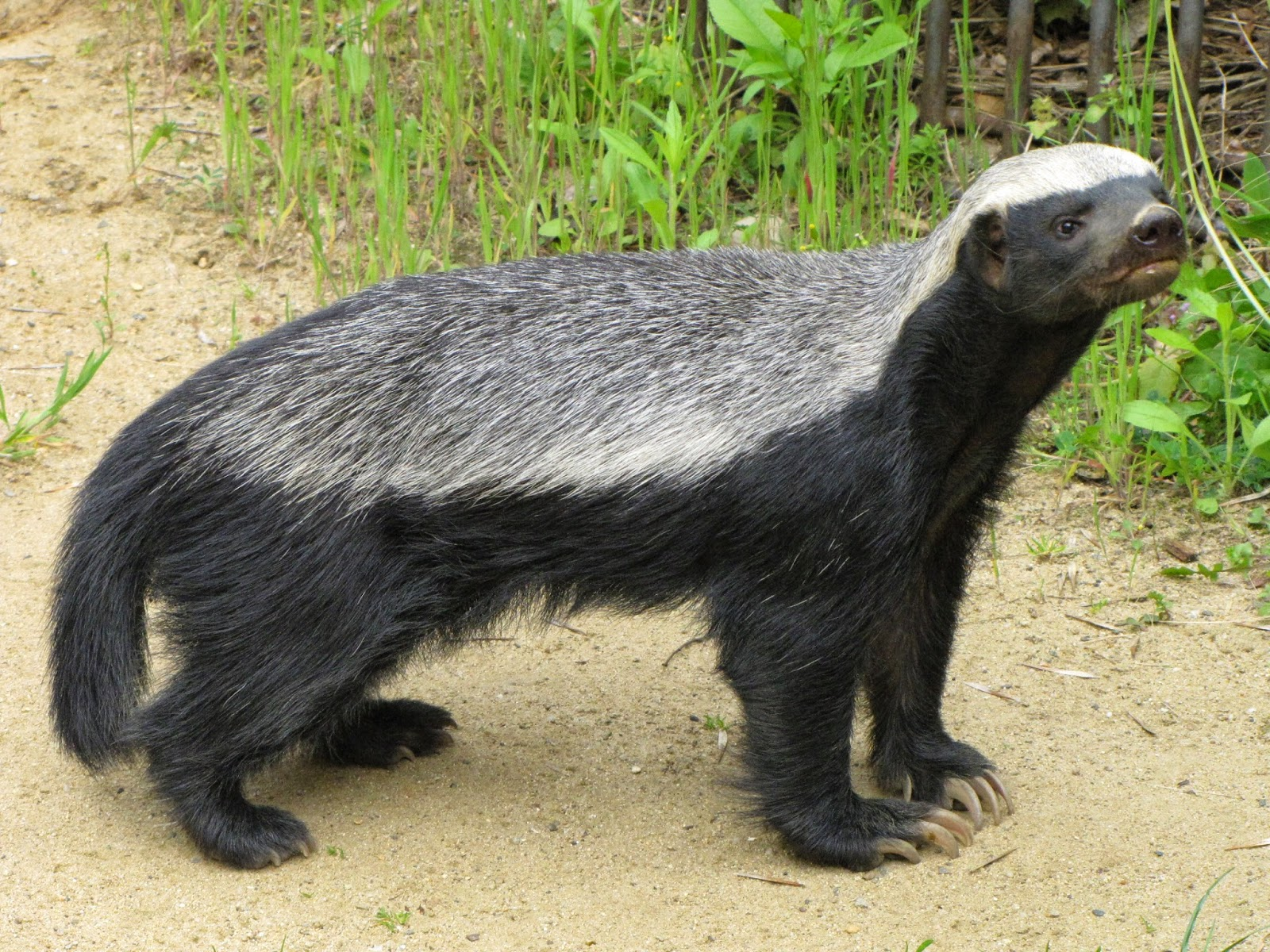 Honey Badger Animals | Amazing Facts & Latest Pictures ...