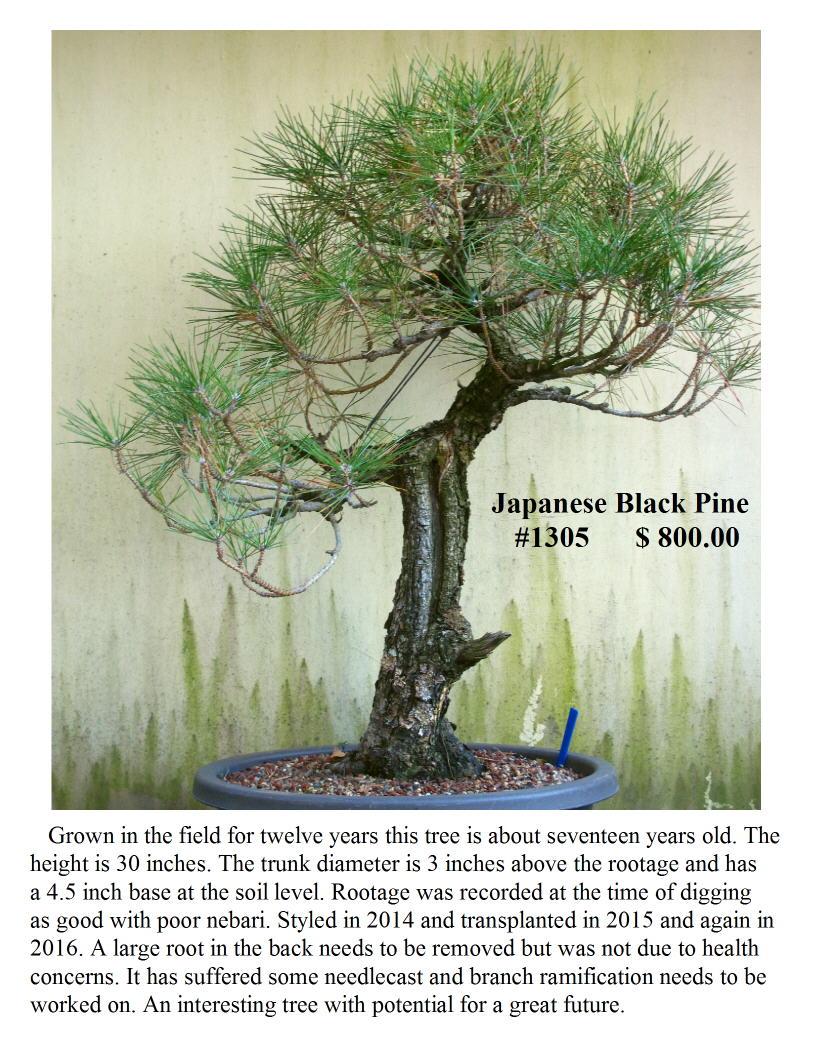 Japanese Black Pine #1305