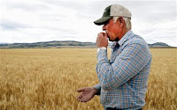 "This Friday, July 17, 2015 photo shows Rick Diehl chewing kernels from his winter wheat fields in East Helena, Mont. They're shriveled and undersized, but crunchy. ""That's how I know they're ready,"" Diehl said. Drought conditions have adversely affected the quality of winter wheat in the Northwestern United States. (Photo Credit: AP/Alison Noon)  Click to Enlarge."