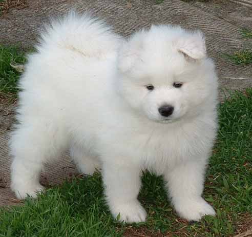 Samoyed Puppies Pictures | Puppies Pictures Online
