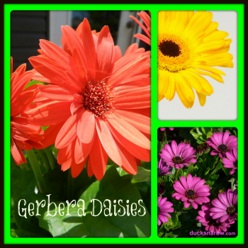 Ducks 39 N A Row Gerbera Daisies And How To Care For Them