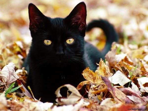 Une photo chat noir
