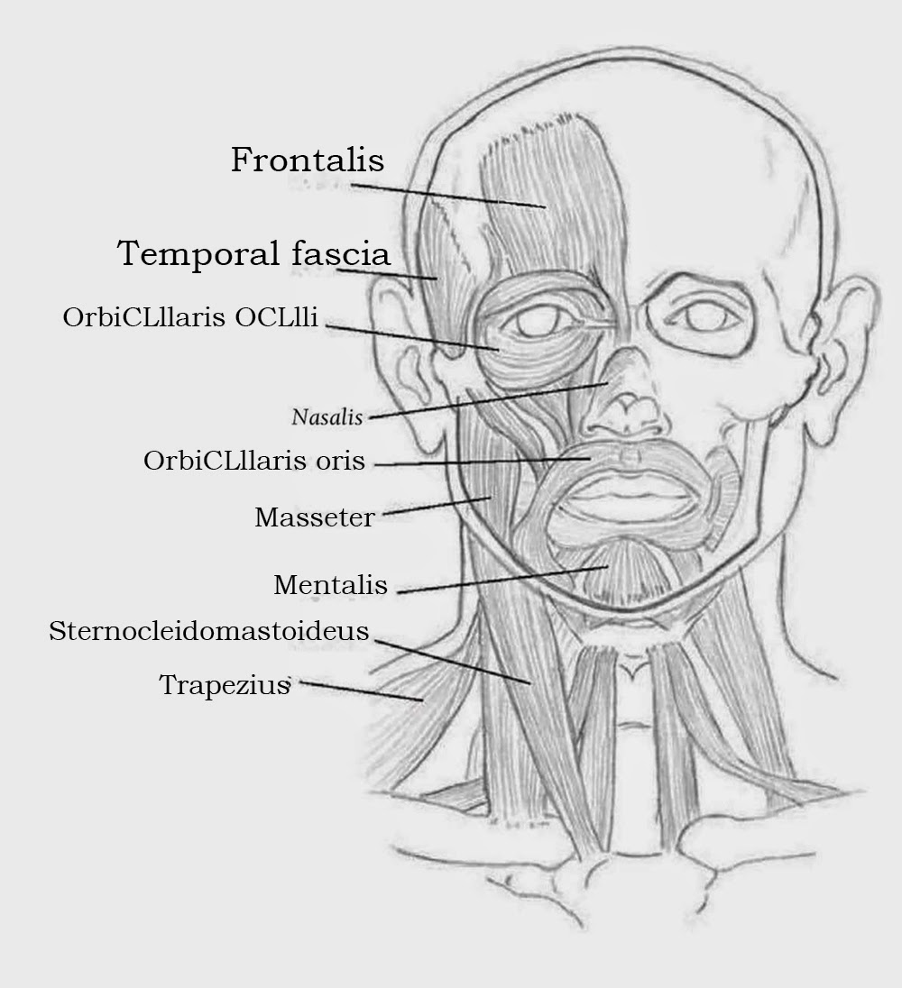 Drawings: UNDERSTANDING FACIAL ANATOMY