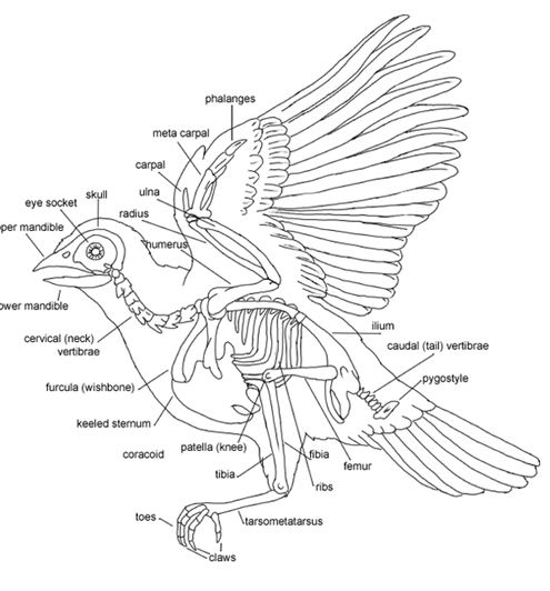 the anatomy of an owl Here students label the parts of an owl's body with descriptor words.