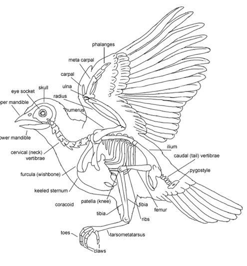 owl anatomy diagram images