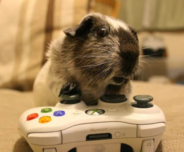 Funny animals of the week - 22 November 2013 (35 pics), guinea pig plays xbox