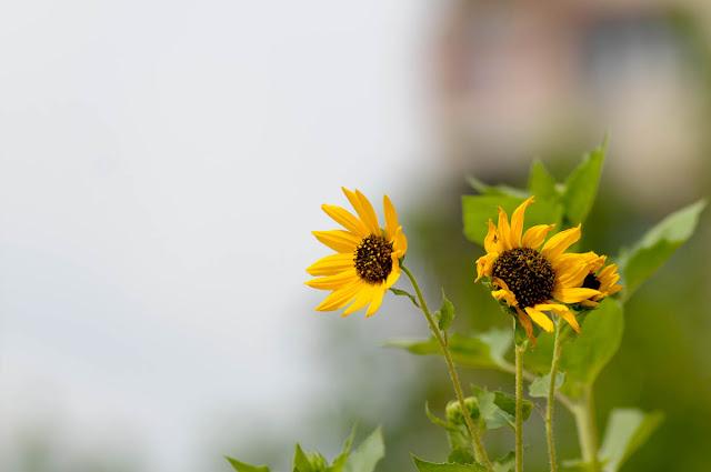Sunflowers   Nikon D300   Nikon 80-200mm f2.8 AFD