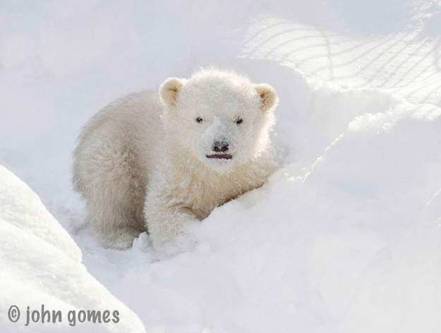 Orphaned Baby Polar Bear
