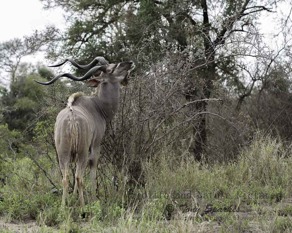South Africa wildlife -Greater Kudu (Tragelaphus stepsiceros) 'Browsing' for food