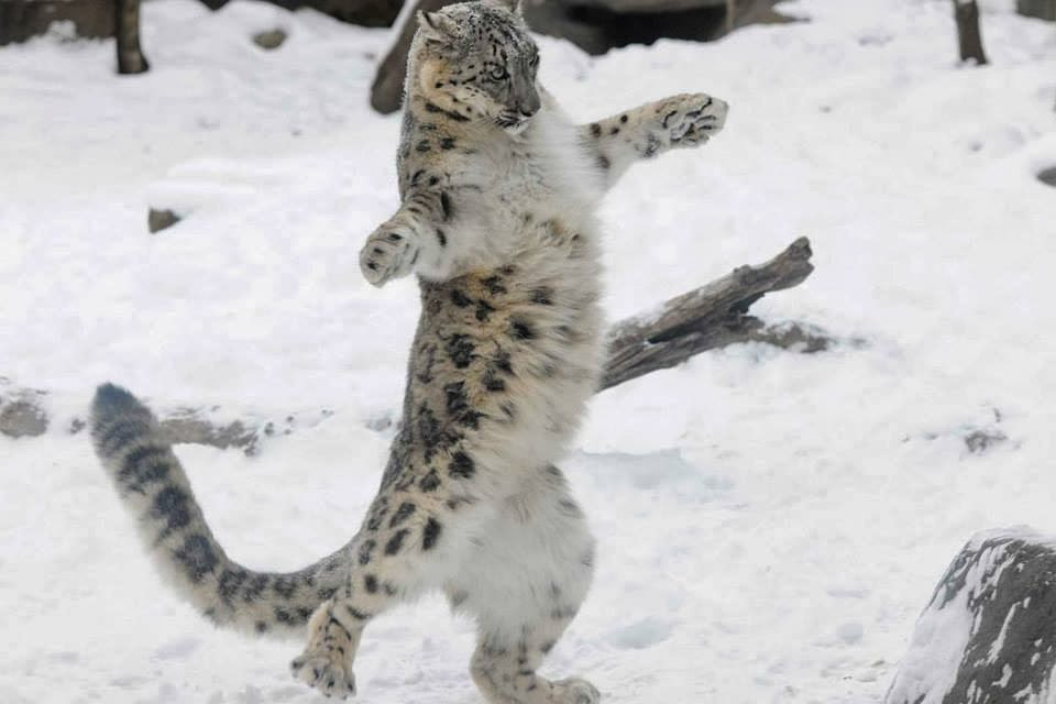 Funny animals of the week - 17 January 2014 (40 pics), jaguar in the snow