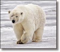 Picture of white polar bear