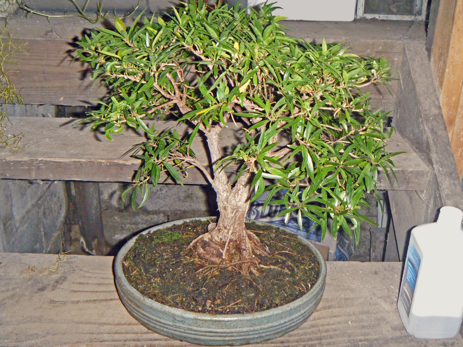 Bonsai In Hoosierland QuotExoticquot Works Both Ways