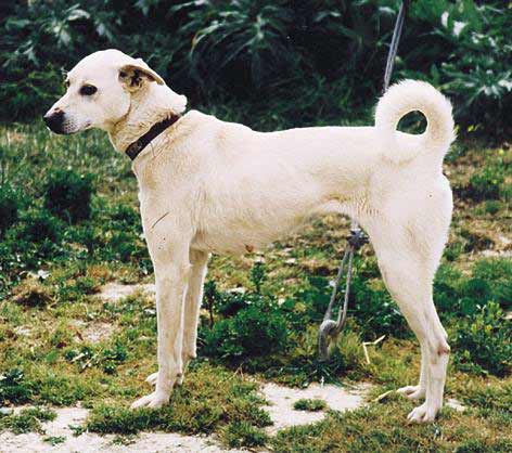 Dogs Info: Alaunt American Foxhound Strains