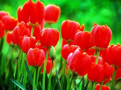 Bunga Tercantik di Dunia-Tulip Merah