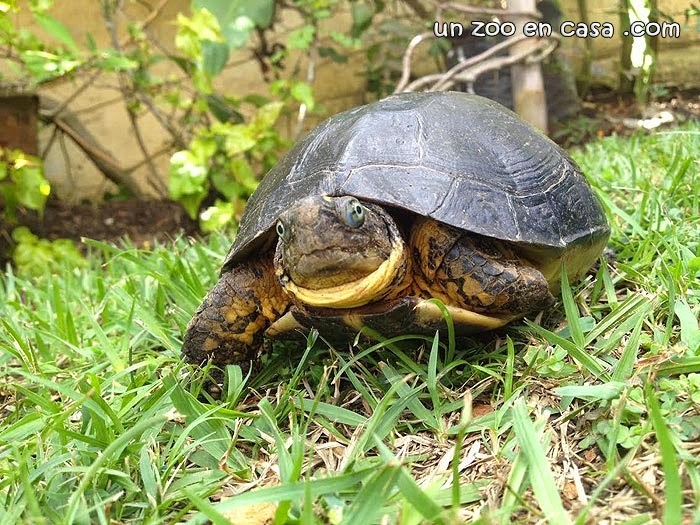 Brown wood turtle, Rhinoclemmys annulata