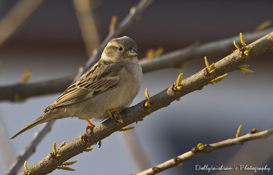 House Sparrow  Manipur...