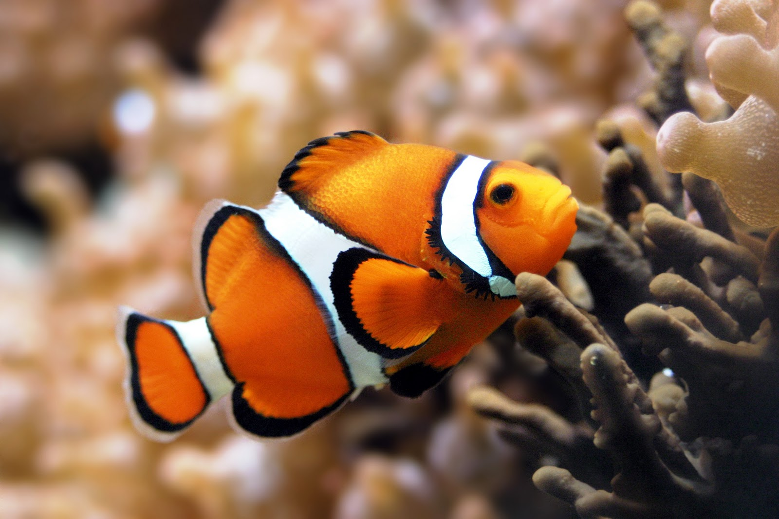 Clown fish info and new photos images the wildlife for Clown fish habitat